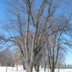 SAE-identification-arbres-hiver